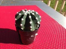Cactus Plant. Echinopsis Dominos Cactus. by SucculentBeauties on Etsy https://www.etsy.com/listing/169411878/cactus-plant-echinopsis-dominos-cactus