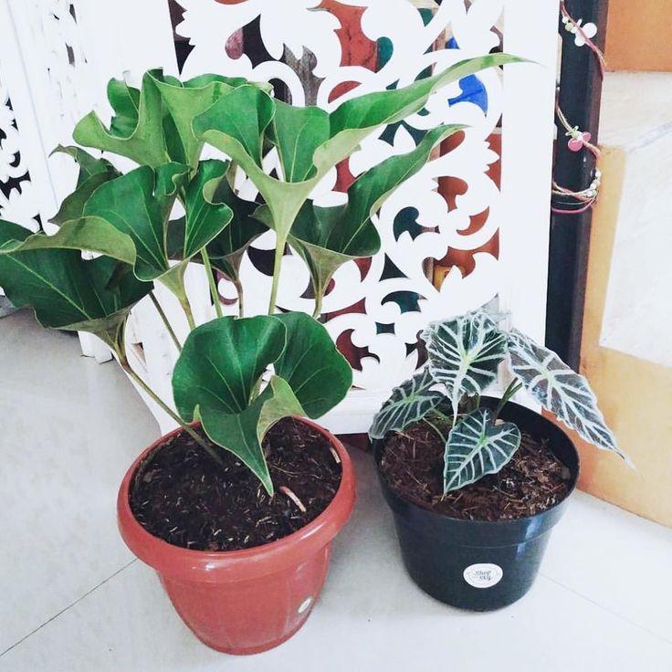 Hehehe masih inget ini jenis tanaman yang pertama kali diadopsi di rumah. Dicuekin tambah subur. Diperhatiin malah layu  padahal namanya Corong Cinta  Terima kasih mbak Swasti udah adopsi yang ini ama temennya di samping  . . #ceritatanaman . . #Repost @nienanien with @repostapp  Yang lebih tinggi ini namanya Corong Cinta  hahahaha semoga makin penuh dengan cintaaaa   #helloworld #thankyou #shopwithskytesti #plants #greenplants #naturalview #instanature #instaplants #tanamanhias…