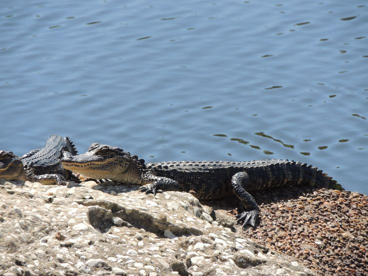 Alligator on the Eastbay Golf Course in Florida