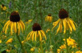 Echinacea paradoxa - Gelber Sonnenhut