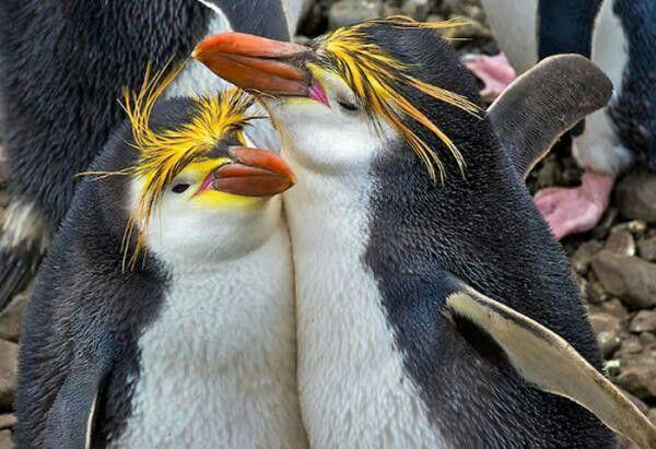 El pingüino de Sclater, de las antípodas o crestudo (Eudyptes sclateri) habita en islas del litoral de Nueva Zelanda. Se encuentra en peligro de extinción.  Miden 50-70 cm y pesan entre 2,5-6 kg. Los machos son un poco más grandes que las hembras. Este pingüino posee una coloración muy viva. Su color es negro en el lomo y blanco en el vientre. En la cabeza posee 2 crestas de un amarillo brillante. El pico está rodeado por una línea blanca muy fina.
