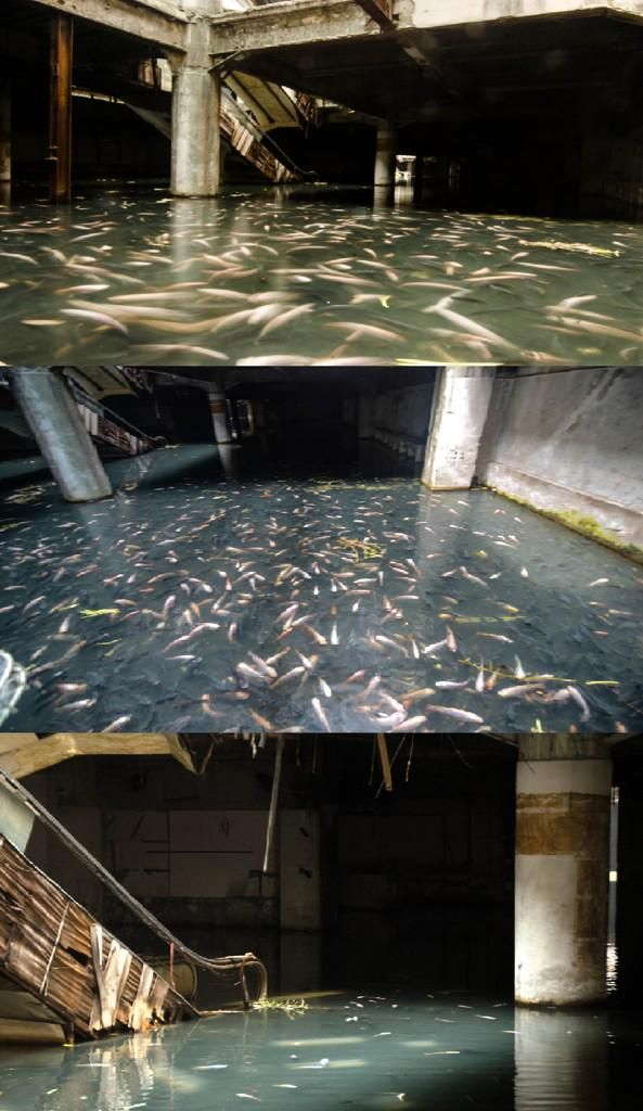 A flooded abandoned shopping mall in Thailand has become home to thousands of fish...