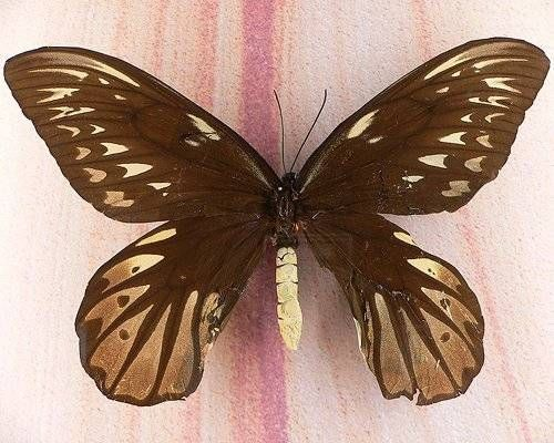 Queen Alexandra's Birdwing - largest butterfly in the world, wingspan up to 12 inches.
