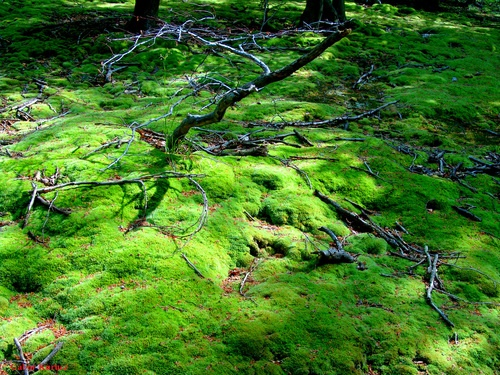 mecsek Moha ,Zöld szőnyeg (Leucobryum) (Green carpet)