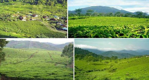 Tempat wisata kebun teh margawindu ini merupakan salah satu lokasi wisata yang bisa anda jadikan sebagai tempat untuk menenangkan pikiran sambil menghirup udara segar serta sangat cocok untuk dijadikan tempat liburan bersama keluarga.
