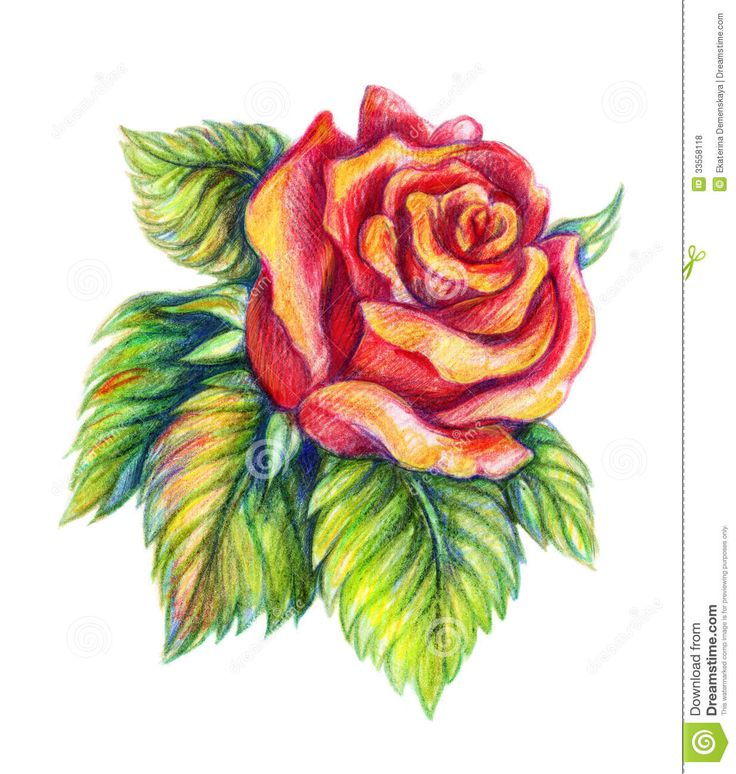 Flower Roses Pinterest: Colored Pencil Drawings - Google Search