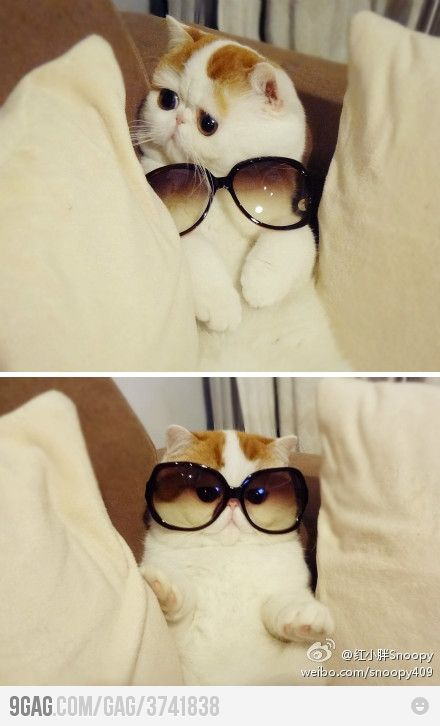 : Cats, So Cute, Funny Cat, Funnycat, So Funny, Sunglasses, Fabulou, Socute, Animal