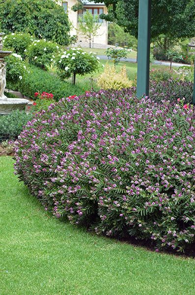 Hebe Hedge with an Edge
