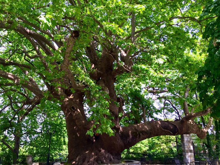 1000+ years old Platan at square of Tsagarada, Pelion. You will need about 14 persons to hug this tree!!