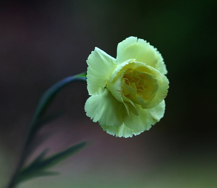 Just a Carnation