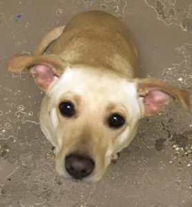 ADOPTED!!  Panama City, FL - Meet Willow, Female, Spayed, 1 yr old, Retriever Labrador mix- Yellow, 20 lbs, looking for a forever home. She is LOCATED at the Humane Society of Bay County, Panama City, FL