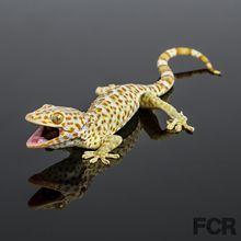 Tokay Geckos For Sale Main