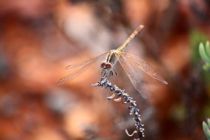 Dragonfly Leonora Western Australia