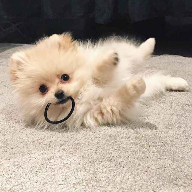@Pomeranianboomoji delivered this super cute @bellasnow_thepom to the USA Washington And now Bella Snow is living with her amazing family as we see!!! @Pomeranianboomoji is the best in this job Our's choose Boomoji! ✈️