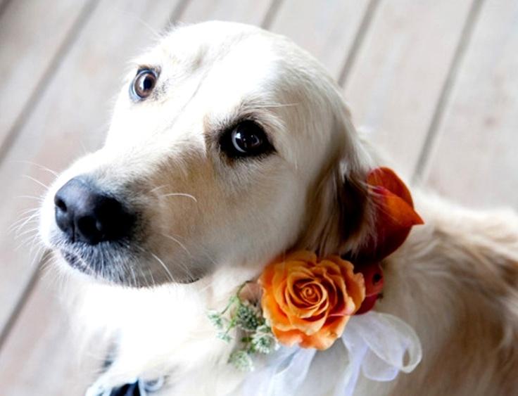 White Labrador wedding dog Toni Kami  ❀Flowers in their coats❀
