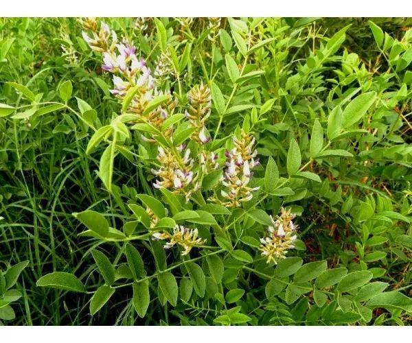 1 Pianta di Liquirizia Glycyrrhiza Glabra