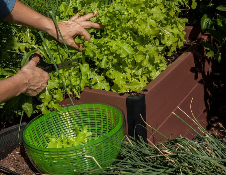 Make a fresh salad by growing lettuce in your square foot garden. #Gardening #DIY