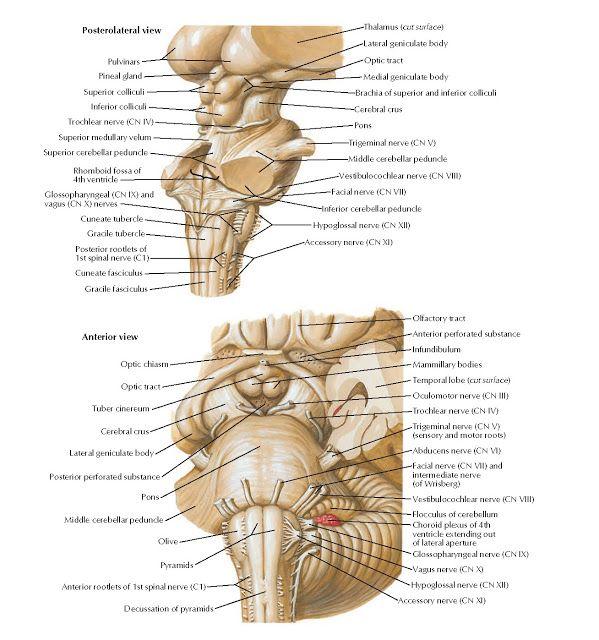 Brain Stem Anatomy Dengan Gambar
