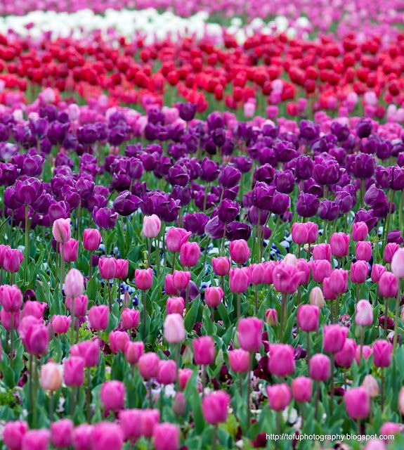 Tulips at the Floriade Flower Show in Canberra -- I went in 2005 and it was absolutely amazing. I loved loved loved the tulips. Seas of tulips. Totally gorgeous!
