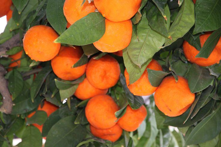 Als je in februari in #Andalusië bent, dan zie je op straat overal sinaasappelbomen met deze heerlijke oranje vrucht. Ze zijn helaas niet voor consumptie geschikt!