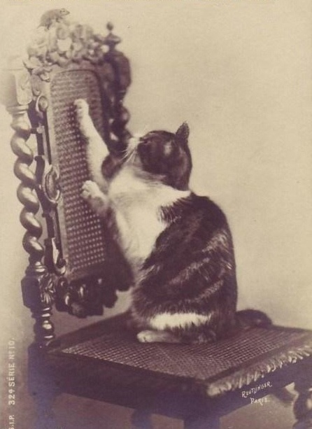 a Bad Victorian who cannot resist the nicely woven cane chair back - cats have always been cats!