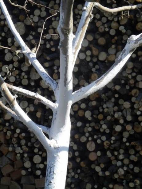весенняя побелка дерева