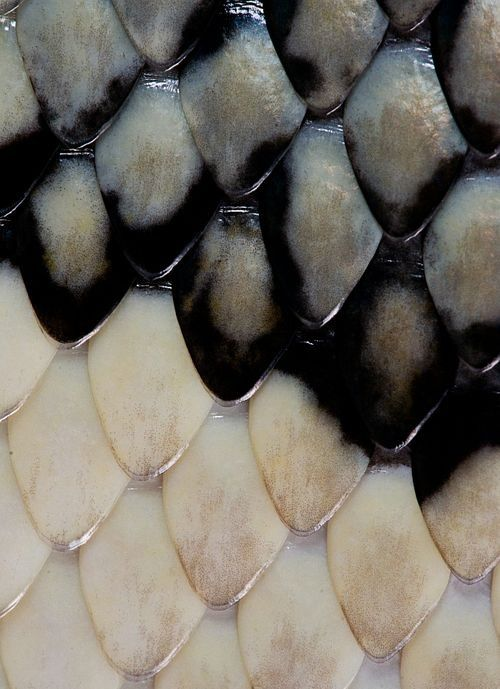 textura conformada por escamas de pez naturalmente ordenadas, en este caso la textura no podria ser una gradacion de color ya que el color cambia de un color a otro drasticamente sin tener colores alternos que lo hagan llegar al otro.