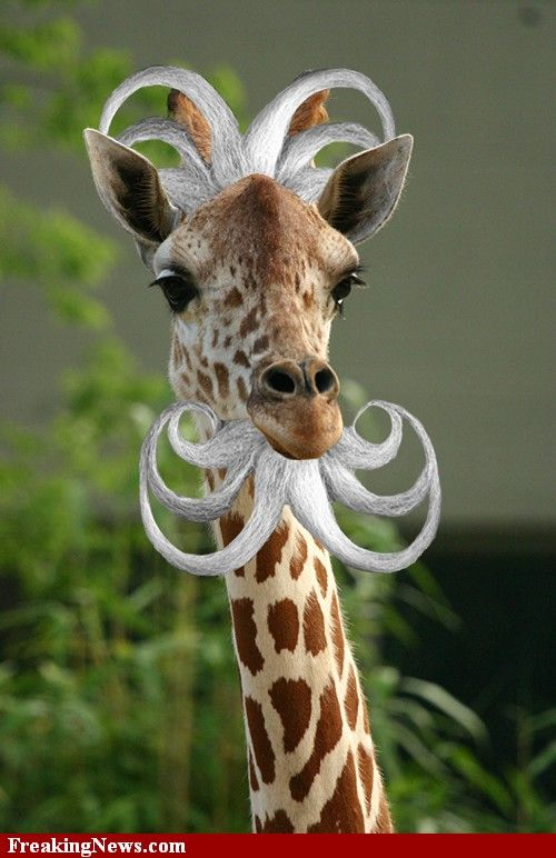 Funny Pictures of Giraffes | Bearded Giraffe funny pictures