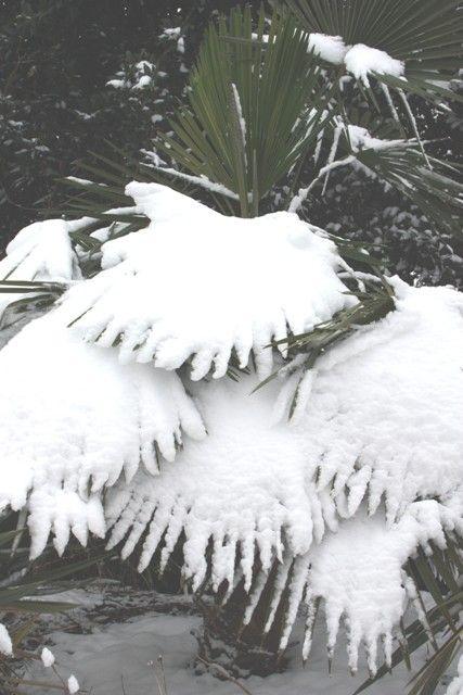 Bulgaria Windmill Palm for sale buy Trachycarpus fortunei 'Bulgaria'