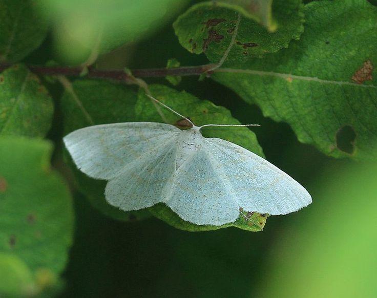 Birken Weissstirnspanner In 2020 Nachtfalter Insekten Schmetterling