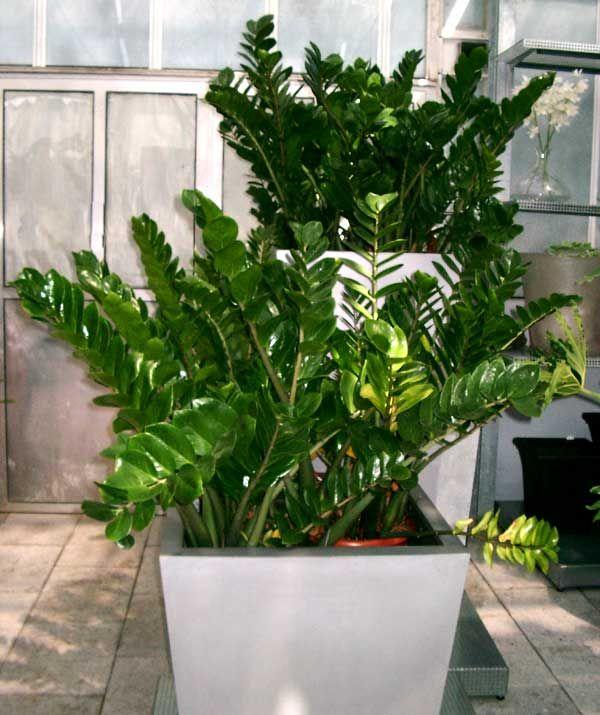 Zamioculcas zamiifolia (Lodd. et al.) Engl.