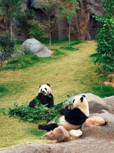 Ocean Park Hong Kong 香港海洋公園 A pair of Giant Pandas, a male named An An (安安) and a female called Jia Jia (佳佳)
