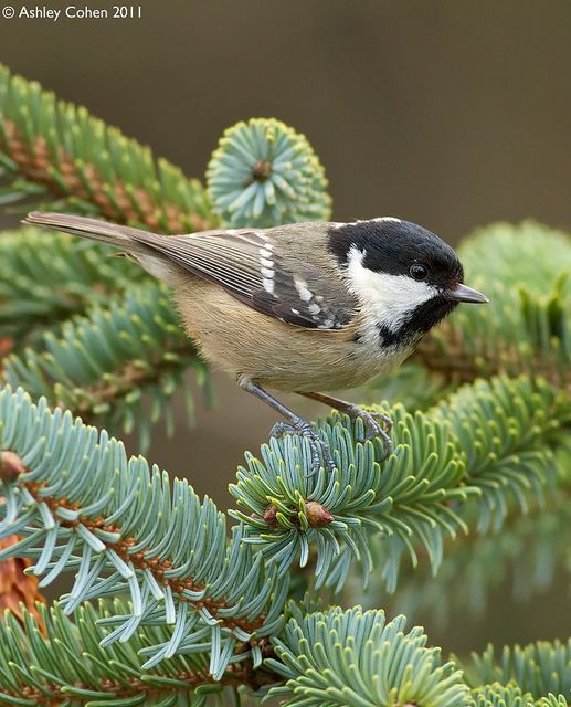 Coal Tit - Pine Percher - Explored! by Ashley Cohen Photography, via Flickr