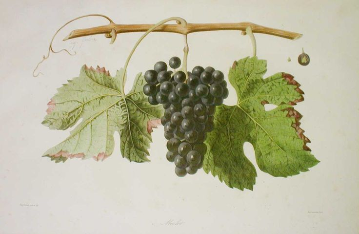 Merlot from 'Ampélographie française', by Victor Rendu. Paris, 1857. Ampelographies describe and often illustrate grape varieties. The hand-coloured lithographs of Eugene Grobon make this book possibly the most prized of the great ampelographies of the nineteenth and early twentieth centuries.