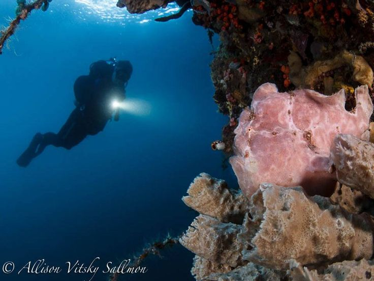 Giant Frogfish at the wall   Photo by Allison Vitsky Sallmon  #WideAngleWonder #Lembeh #Underwaterphotography — at Critters at Lembeh Resort.