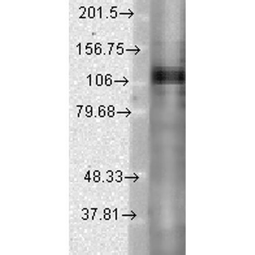 Mouse Anti-Kv3.1 Potassium Channel Antibody [S16B-8] used in Western Blot (WB) on Rat brain lysates (SMC-313)