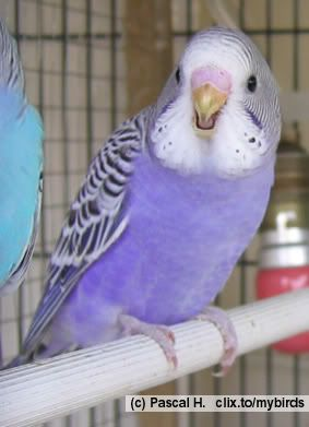purple parakeet  Hmm . . . new necklace colour? #TattyDevineLilac