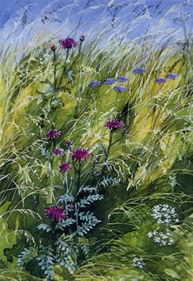 Knapweed and Scabious - watercolour by Dorothy Pavey