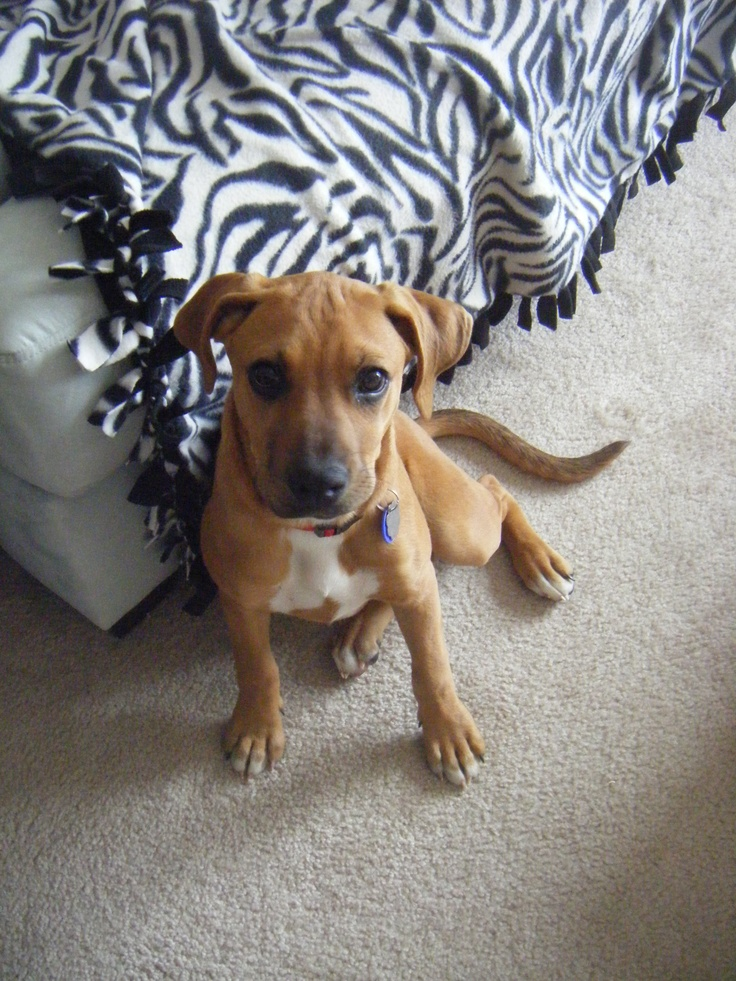 Boxador Puppy i cant. Some of my favorites.. Pinterest