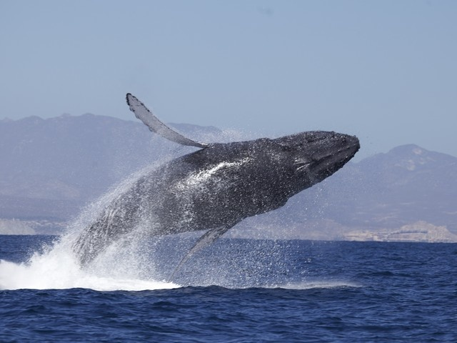 Bay of Fundy Whale Watching shore excursion - Saint John, NB, Canada #BayofFundy #whale
