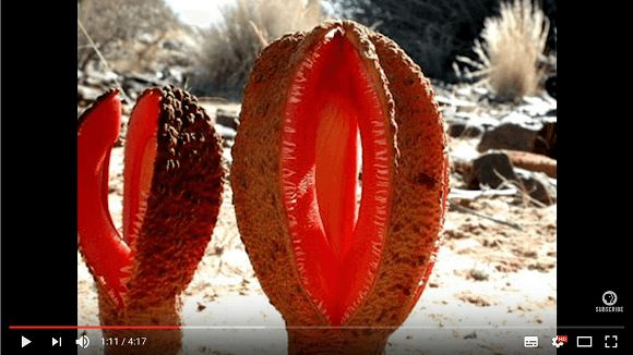 What is the strangest plant in the world? This video explores the contenders and teaches lots about plant science at the same time.