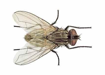 Como matar e espantar moscas