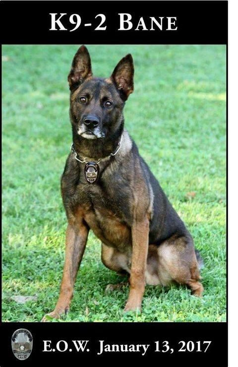 K9 Bane was a full blooded Belgian Malinois, partnered with Officer Adam Sears in 2013. For the past 4 years K9-Bane has provided a distinguished service to our community. K9 Bane was certified in narcotics detection, tracking, area and building searches, suspect apprehension, evidence recovery, obedience and handler protection.
