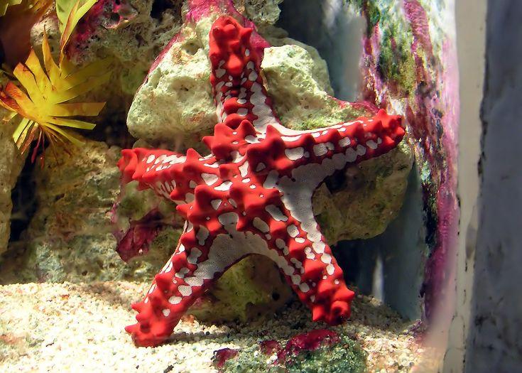 Knobby Red Starfish - want one