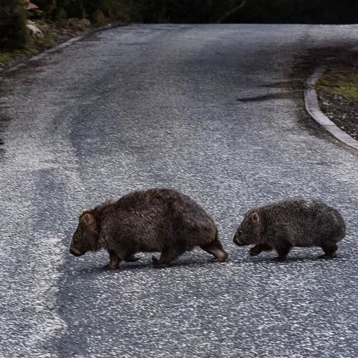 Getting to the other side  Why did the wombats cross the road? Because that's what they do on Cradle Mountain, Tasmania.  ABC Open contributor FlossR