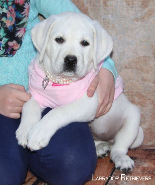 Labrador Retriever Intelligent And Fun Loving Labrador Puppy Labrador Retriever White Labrador Puppy