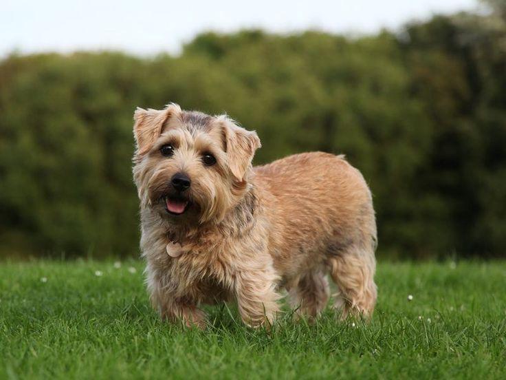 Норфолк терьер – порода норных охотничьих собак, графство Норфолк в Англии В течение ста лет норвич-терьер и норфолк-терьер числились как одна порода. Разными у этих двух пород были только уши, у одной были висячие уши, а у другой – стоячие. В 1964 году британским клубом собаководов было принято решение разделить их и сделать две породы.