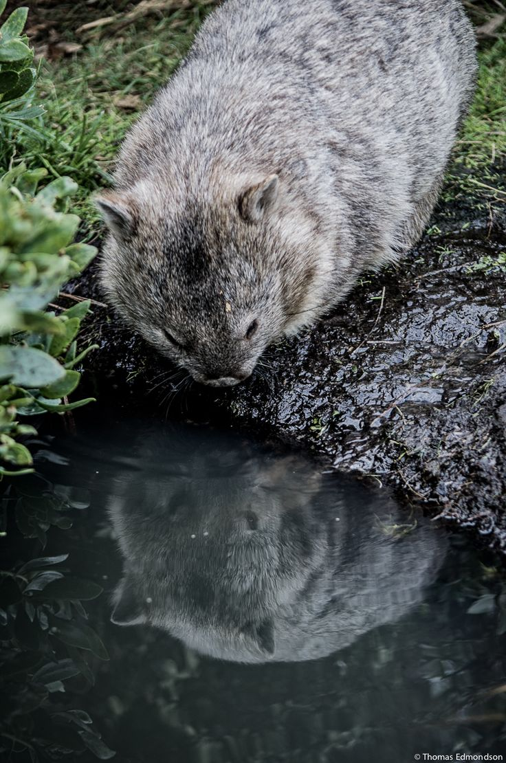 "A Wombat:  ""Mirrored Image.""  (Photo By: © Thomas Edmondson on Maria Island, Tasmania.)"
