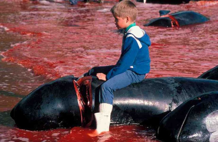 Raising Awareness: Faroe Islands PM urged to end the slaughter of pilot whales #savethewhales