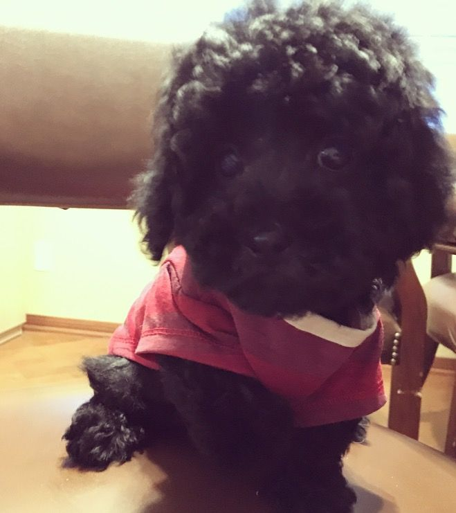 1000+ Ideas About Maltese Poodle On Pinterest